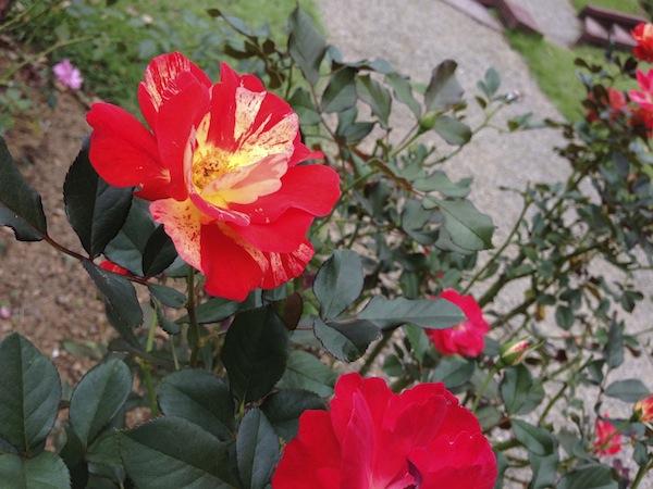 薔薇の魅力・・・