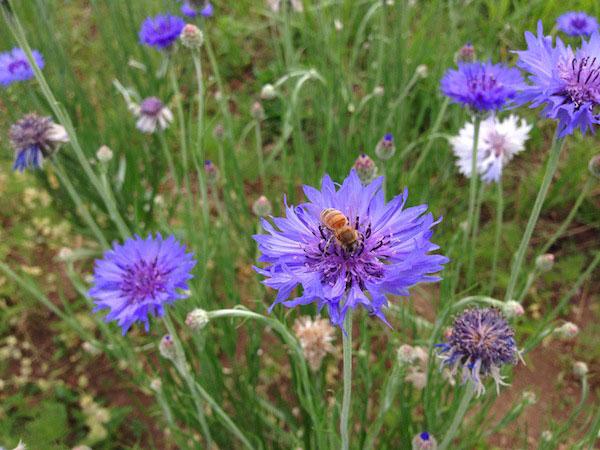 蜜蜂と矢車草にiPhoneを向ける!